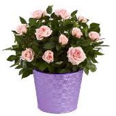 ***Čestitke*** - Page 21 Roze_ruze